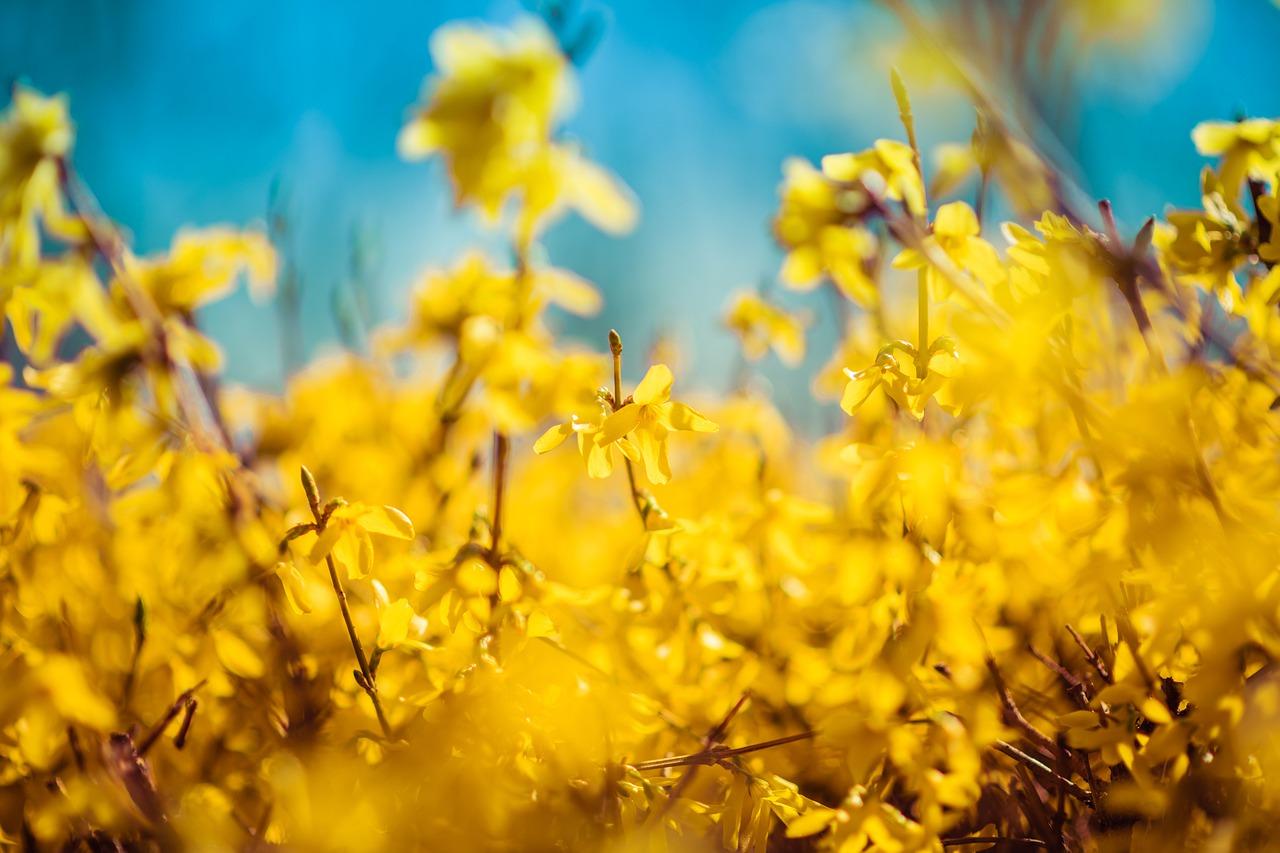 Jak pěstovat zlatý déšť | rady | jaktak.cz